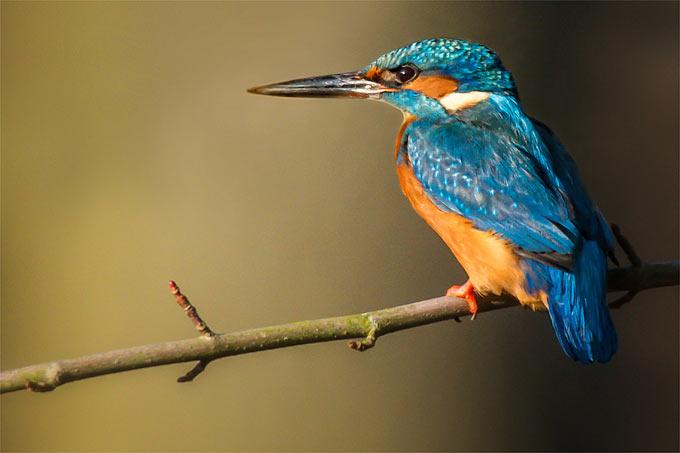 Các Loài Chim Trong Tiếng Đức